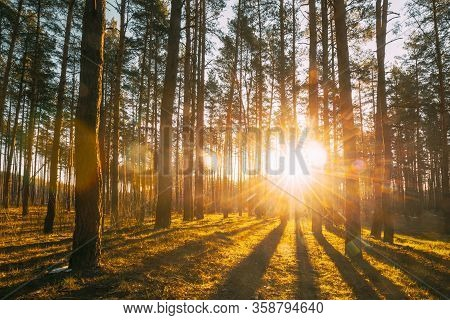 Beautiful Sunset Sunrise Sun Sunshine In Sunny Spring Coniferous Forest. Sunlight Sunbeams Through W