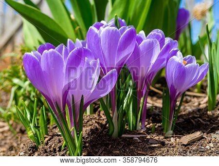 Pretty purple crocus in the spring garden.
