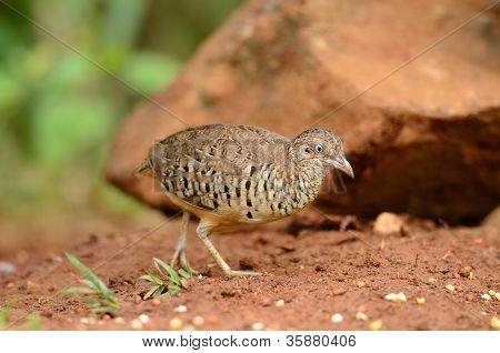 beautiful male barred buttonquail (Turnix suscitator) feeding on ground poster