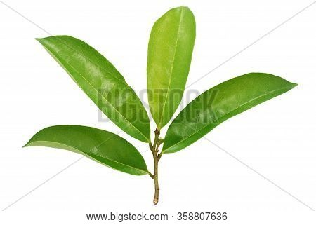Single Soursop Leaf Isolated On White Background