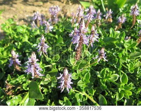 Ground Hugging Succulent Wild Plant With Delicate Blue Flowers In Andalusian Sunshine