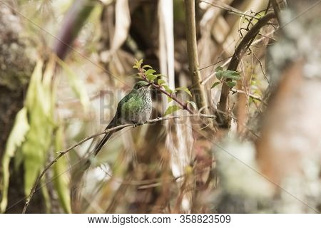 Female Specimen Of Black-tailed Trainbearer, Lesbia Victoriae, A Green Beautiful Long Tailed Humming
