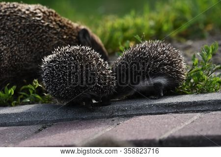 Prickly Hedgehog Mother With Three Young People Looking For Food On An Evening Walk Between Houses A
