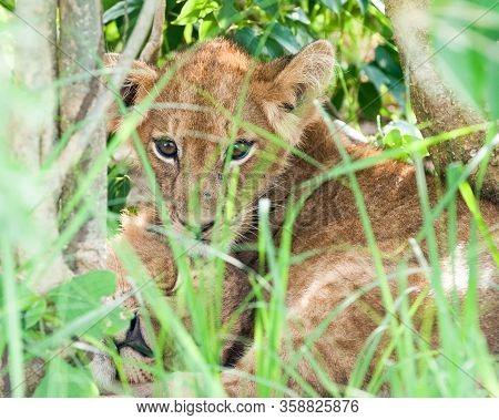 Lioness Watching Over Her Cubs. Murchison Falls Wildlife Sanctuary. Uganda