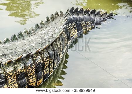Saltwater Crocodile Tail In A River At Public Zoo