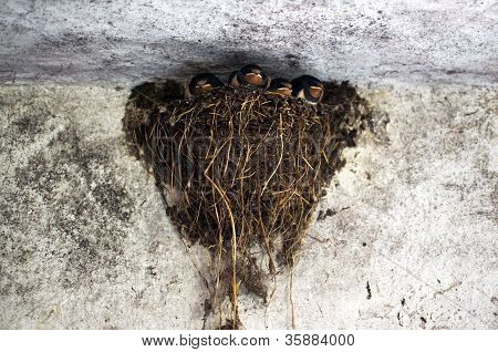Four young swallow fledglings in their nest poster
