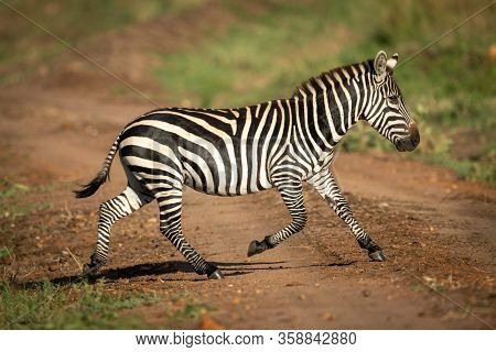 Plains Zebra Crosses Dirt Track In Sunshine
