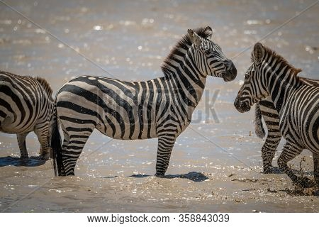 Plains Zebra Stands As Others Cross Lake