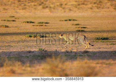 Cheetah (acynonix Jubatus) In The Desert.the Cheetah Is Preparing To Attack.cheetah In Running, Phot