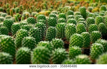 Macro, Small Cactus Plants For Planting Inside The House At The Tree Shop