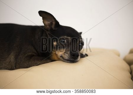 Old Toy Terrier Portrait. A Small Thoroughbred Dog. The Pet Is Sleep.