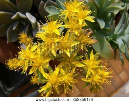 Sedum Acre Yellow Queen Flowers In Bloom In Springtime