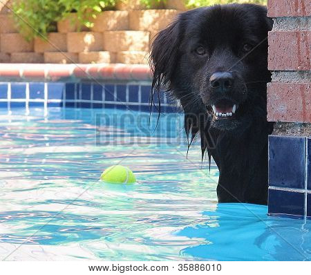 Face of happy, hairy black dog in pool
