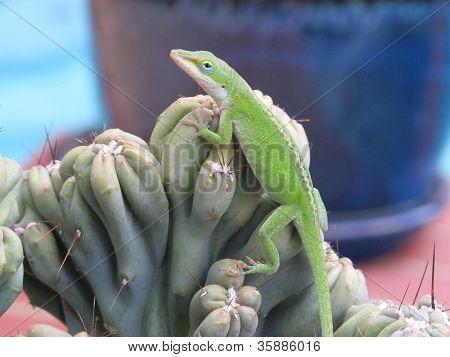 Posing green lizard on cactus