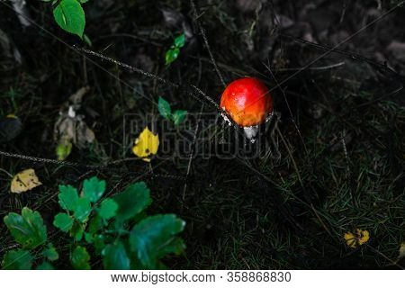 Amanita In The Forest. Poisonous Red Mushroom Grows Among Green Plants. Inedible Toxic Mushroom.