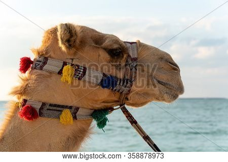 Closeup To Camel Head With Blue Sky And Sea Background. Beautiful Dromedary Decorated With Colorful