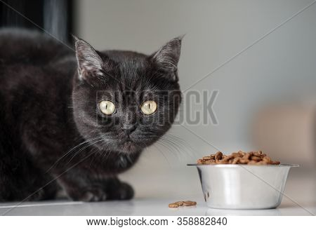 Portrait Of A Cat. Scottish Short Hair Cat . The Sight Of A Cat. Cats Eye. Cute Brown Scottish Cat E