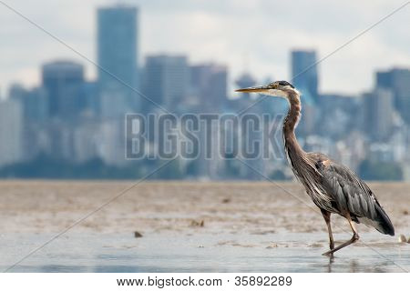 Heron Fishing With Vancouver Skyline in Background