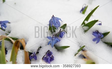 Little Blue Flowers Are Seen Under The Suddenly Fallen Snow.