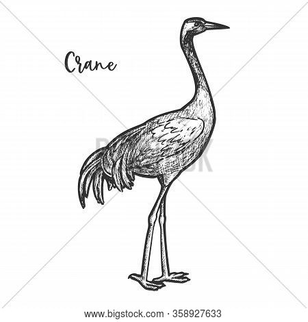 Crane Bird Sketch. Gruidae Animal With Feather