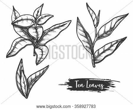 Hand Drawn Ceylon Or Indian Tea Leaves. Twig, Stem