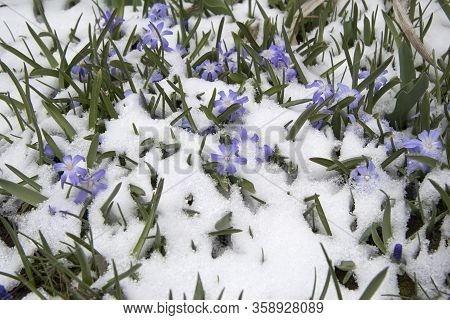 Little Blue Flowers Are Seen Under The Suddenly Fallen Snow