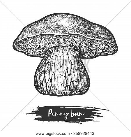 Porcini Sketch Or Mushroom, Penny Bun Shroom