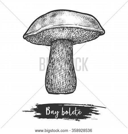 Retro Or Vintage Sketch Of Bay Bolete