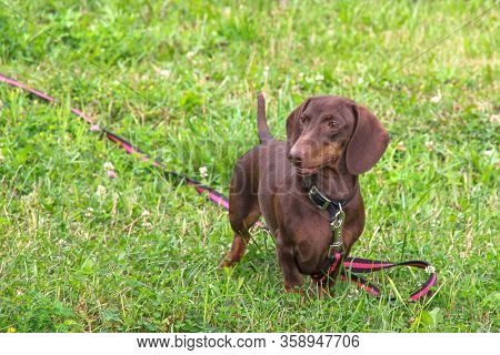 Cute Purebred Young Dachshund Of Chocolate Color With Emphatic Expressive Eyes On Red-black Leash Is