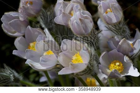 Protected And Rare Flower Pulsatilla Patens And Its Hybrids With Pulsatilla Vernalis Blooming In Cer