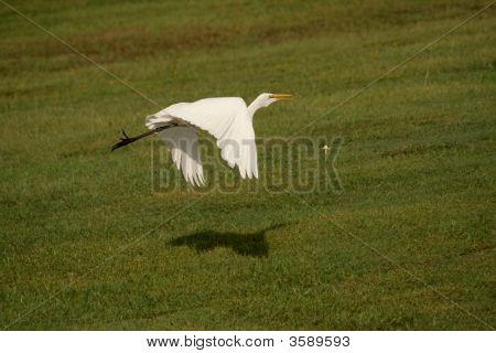 Great Heron 2
