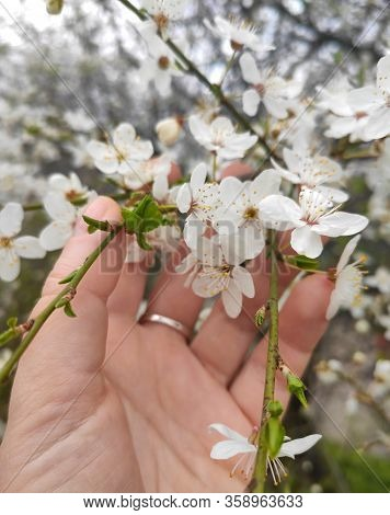 Tree Blossom In Woman Hand. Woman Hand Touching Blossoms Tree Flowers. Cherry Tree With Tender Flowe