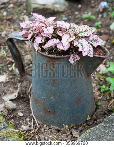 Pink Polka Dot Hypoestes Plant In Coffee Pot As A Container Garden Potted Plant Decor.  Rustic Old C