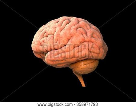 Brain Human Anatomy 3d - Isolated Brain Anatomy Structure, Head Organ, Lobes, Nervous System, Neurol