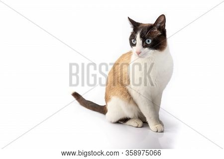 Siamese Cross Cat And Ragdoll Sitting On White Background