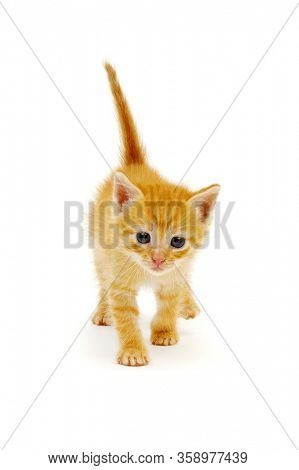 Red little cat on the white background