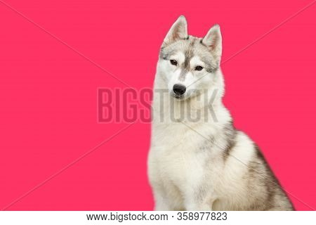 A Siberian Husky Dog Looks At The Camera Isolate On The Pink Background. The Concept Of Veterinary P