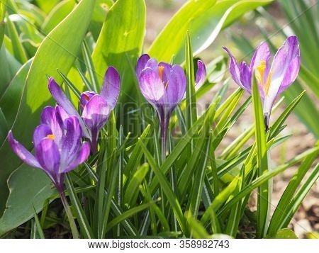 Beautiful Blooming Purple Crocus Flowers On A Meadow. Spring Background With Violet Crocus Flowers I