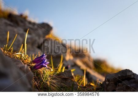 Gentian Are The First Spring Mountain Flowers. Low Tatras National Park.