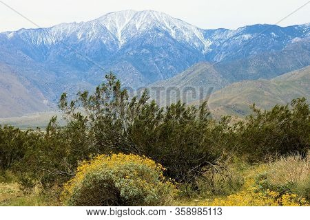 Creosote Plants Besides Spring Wildflowers With Snow Capped Mt San Jacinto Beyond Taken In The Rural