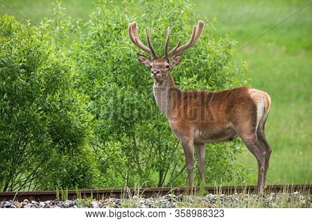 Unaware Red Deer Standing On Railroad In Summer With Green Field In Background.