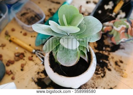 Transplanting A Houseplant Into A Ceramic White Pot. Kalanchoe Is Transplanted Into A New Pot. Plant
