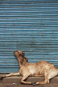 Goat lying asleep in front of a blue shutter. Old Delhi India poster