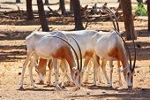 A herd of white wild goats scimitar horned oryx on a sunny summer day poster