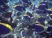 Big flock of vivid fish Acanthurus leucosternon (powder blue tang) in the Maldives poster