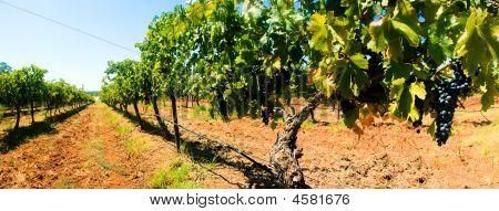 Grape Vines Panorama