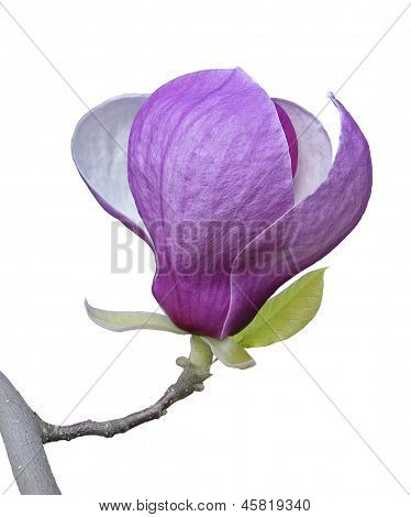 Magnolia On Branch Isolated