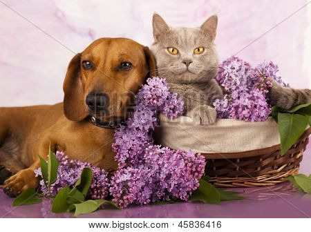 British kitten rare color (lilac) and puppy red dachshund, cat and dog
