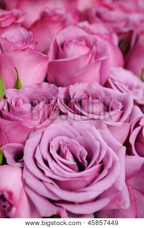 Close up of purple roses