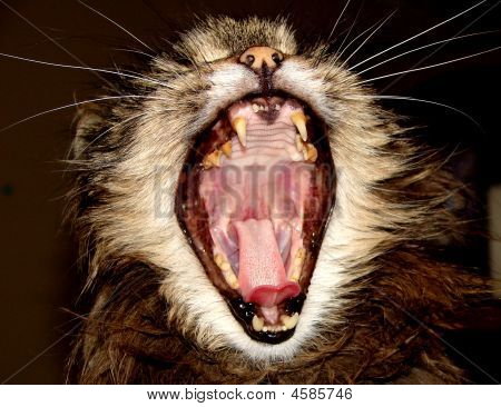 Cat With Mouth Wide Open